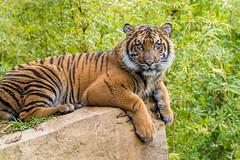 Suka (ToddLahman) Tags: sandiegozoosafaripark safaripark sumatrantiger suka escondido canon7dmkii canon canon100400 tigers tiger tigertrail tigercub teddy joanne exhibitc portrait
