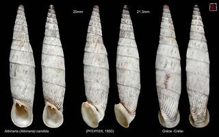 albinaria (albinaria) candida planche grece crete