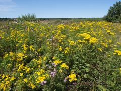 Boerenwormkruid met distels (Jeroen Hillenga) Tags: flowers yellow wildflowers geel berm bloemen drenthe distels boerenwormkruid zomerberm