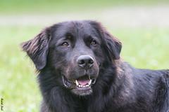Paul (HendrikSchulz) Tags: camping dog dogs animal tiere österreich august porträt hund potrait hunde dogphotography 2015 animalphotography kleinwalsertal tierfotografie hundefotografie hendrikschulz hendriktschulz