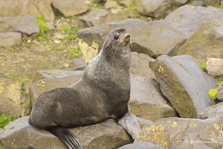 Northern Fur Seal, St Paul Island