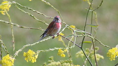 Linotte mlodieuse, Am, n (R, 2014-05-04_3) (th_franc) Tags: oiseau linottemlodieuse