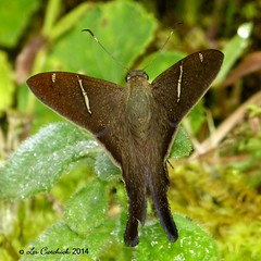 Urbanus sp. (LPJC) Tags: butterfly ecuador skipper 2014 longtailed urbanus lpjc wildsumaco wildsumacolodge