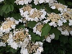 White Hortensia (Baerb) Tags: white flower garten hortensie greenandwhite gardenplant weis hydrangeaceae cultivatedplant grünundweis