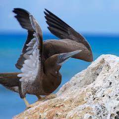 Booby birds (Simone Scott) Tags: bird cayman caymanislands caymanbrac boobybird simonescott
