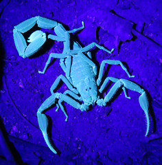Tityus cf. strandii, thick-tailed scorpion species (Birdernaturalist) Tags: brazil fluorescence matogrosso buthidae scorpiones privatetour cristalinojunglelodge richhoyer miscinvert