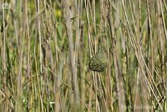 nido di uccello tessitore tra le canne palustri, nest of a Weaver (paolo.gislimberti) Tags: birds reeds southafrica nest uccelli nido animalarchitecture sudafrica canneto nidificazione architettutaanimale