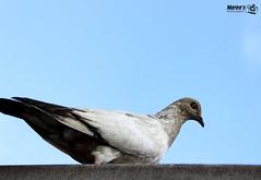 Palomita (Marita's Photography) Tags: street sky eye canon photography gris pigeon paloma ojos ave cielo mirada celeste timida observadora