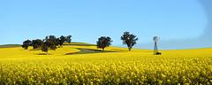 Windmill (PhotosbyDi) Tags: field yellow farm dookie crop canola nikond600 nikonf282470mmlens