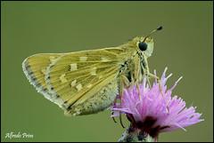 Hesperia comma (alfvet) Tags: macro nature estate ngc butterflies natura npc insetti valsesia farfalle