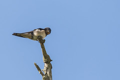 Swallow (GaseousClay1) Tags: swallow hirundorustica bird avian nature wildlife orenetavulgar landsvale rauchschwalbe golondrinacomún haarapääsky hirondellerustique rondine boerenzwaluw låvesvale andorinhadaschaminés ladusvala деревенскаяласточка martinclay
