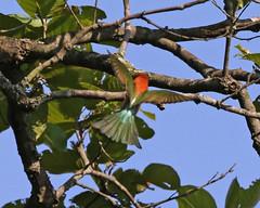 Chestnut-headed Bee-eater (Merops leschenaulti) (Lip Kee) Tags: chestnutheadedbeeeater meropsleschenault imeropsleschenaultileschenaulti