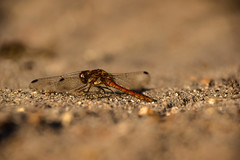Coasting Up The Runway, Preparing For Lift Off (pogmomadra) Tags: autumn sun sunlight wednesday insect evening blurry nikon dragonfly bokeh damselfly darter hbw happybokehwednesday d5300 bevclark pogmomadra