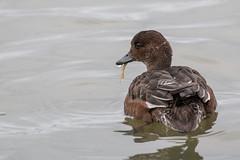 Duck (bohnengarten) Tags: bird island eos iceland duck waterbird ente myvatn vogel wasservogel mckensee 70d