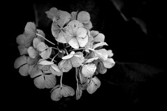 Hortensia (Two_tango) Tags: autumn bw flower nature monochrome garden herbst hydrangea blte garten hortensie hortensia macrophylla