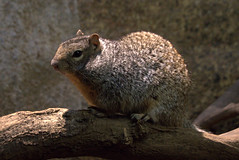 Rotsgrondeekhoorn (soetendaal) Tags: rock utah squirrels rots knaagdier variegatus spermophilus grondeekhoorn
