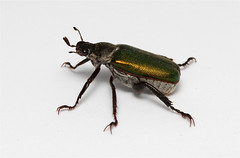 Dichelonyx valida (Nick Dean1) Tags: macro green animal canon insect washington beetle insects washingtonstate arthropods animalia arthropoda everett arthropod coleoptera hexapod scarabbeetle carapace insecta washingtonusa hexapods hexapoda scarabidae greencarapace canon7d dichelonyxvalida