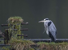Heron on old jetty Loch Long (mickrobinson37) Tags: old bird heron scotland oldjetty lochlong wadingbird