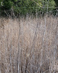 023 Beware Of Spiders In The Grass (saschmitz_earthlink_net) Tags: california statepark grass spider losangeles web orienteering santamonicamountains topangacanyon losangelescounty 2015 laoc losangelesorienteeringclub