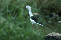 2015 10 MASCATE (Sultanat d'Oman)_84934R chasse blanche (Himantopus himantopus) (chamane45) Tags: bird oiseau muscat pjaro blackwingedstilt chasse mascate cigeuelacomn sultanatdoman
