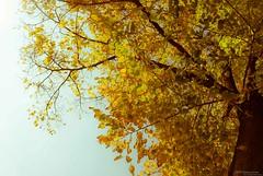 Autumn Yellow (lordspark80) Tags: park city autumn italy parco tree italia culture natura palace mantova romantic te capitale palazzo cultura mantua citt aperto 2016 allaperto storical