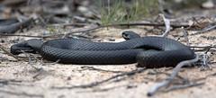 Red-bellied Black Snake - Wangarabell, Vic (TimBawden) Tags: snake redbelliedblacksnake