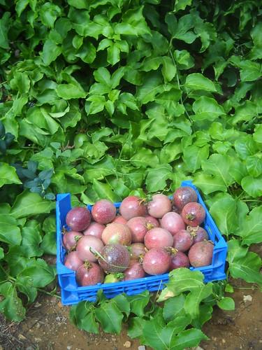 Passion fruit large quantity picking cc Oct 26, 2015