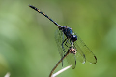 Black setwing (jim_mcculloch) Tags: dragonflies odonata dsc0507