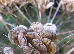 8137 Umbelliferae plant seeds (Andy panomaniacanonymous) Tags: cymru seeds seedhead ccc hhh uuu ppp cowparsnip hogweed umbelliferae llyncefni ynysmon 20151120