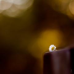 Lost daisy #3 (der LichtKlicker) Tags: plant flower bench wooden focus dof bokeh f14 pflanze 85mm bank daisy fujifilm blume walimex blmchen gnseblmchen lightroom buttery sharpness holzbank samyang schrfe lehne hlzerne lichtklicker
