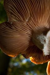 Backlight (ralf.kerkhoff) Tags: deutschland d natur nrw makro pilze nahaufnahme experimente botanik reken kleinreken
