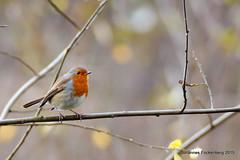 Rotkehlchen (grafenhans) Tags: sony herbst alpha 700 tamron vogel rotkehlchen zweig a700 singvogel alpha700 grafenwald 5663200400