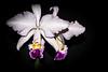 Cattleya trianae var. alba x Cattleya trianae var. coerulea; Christian Furtwängler (christian.furtwaengler) Tags: flowers plants plant orchid flower macro bc orchids natural pflanze pflanzen blumen cattleya sophronitis brassocattleya laeliocattleya lc laelia hybrid orchidee blume makro blüte nahaufnahme orchideen potinara blc brassolaeliocattleya brassovola naturform orchidscattleya rynchorola