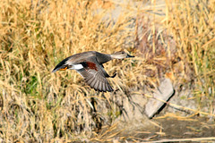 Gadwall (Anas strepera) (rangerbatt) Tags: duck wildduck gadwall anasstrepera