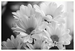 Hymn to Peace (mariaminhota) Tags: flowers light white macro portugal beautiful beauty daisies peace fineart frame naturalart purelove whiteflowers canonlens naturebeauty naturalpainting saariysqualitypictures canoneos70d mariaminhotaphotography