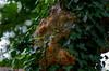 "Tree ""wart"" with ivy. (Emily Stoller) Tags: pentax pentaxk5 pentax100macrowr photographers photomatix macro hdr indiana indianapolis indianaphotographers indianapolisphotographers midwest ivy outdoors outside woodruffplace"