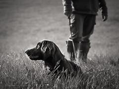 Deutsch Langhaar_Gregor_2_BW-sig (Petra Ries Images) Tags: deutschlanghaar hund hunde jagdhund jagd jger dog dogs huntingdog hunter hunting blackandwhite monochrome