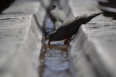 Drinker Pigeon (matteoferrarix) Tags: peru santacatalina pigeon arequipa