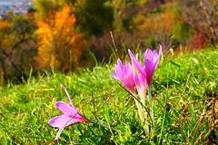 oktberi csokor / October bouquet (debreczeniemoke) Tags: sz autumn tj land tjkp landscape sznes sznpomps colorful oktber october szikikerics autumncrocus olympusem5