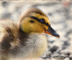 Mallard Duckling (done by deb) Tags: digitalart digitalbirdart ducks ducklings mallards jixipix pastello