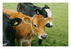 . (-klik-) Tags: calf calves cow brown