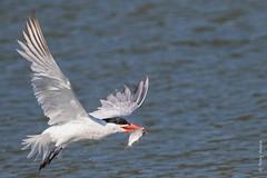 Caspian tern (Hydroprogne caspia) (Tony Varela Photography) Tags: tern caspiantern hydroprognecaspia photographertonyvarela caspianternfishing canon explored explore