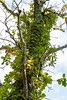 Snag, upper part with lichens and vines incl. Parthenoccissus quinquefolia (virginia creeper) (tgpotterfield) Tags: marthasvineyard massachusetts chilmark parthenocissusquinquefolia parthenocissus vitaceae virginiacreeper chilmarkmarthasvineyard usa