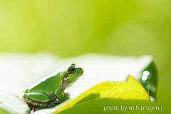 A little frog sitting on a leaf._IMG32433 (m.hamajima) Tags: pentax k3 fa100mm macro 蛙 かえる frog