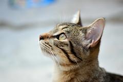 Mirando a... (karlos_radikal) Tags: gato domesticoeuropeo animales felinos profundidaddecampo