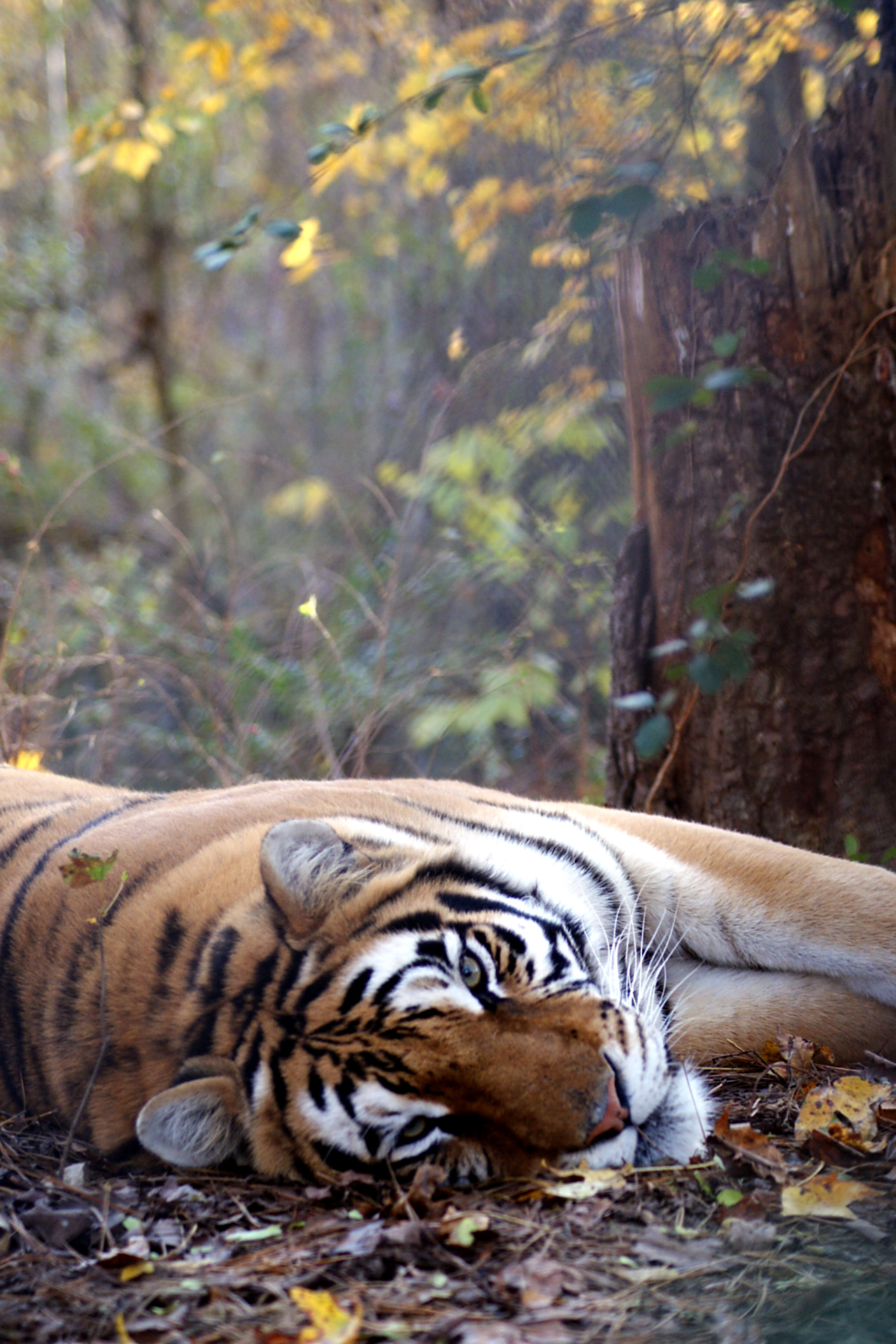 Kaela Tiger | Carolina Tiger Rescue