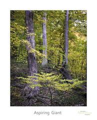 Aspiring Giant (baldwinm16) Tags: il illinois illinoisforestpreserve october autumn autumncolor autumnleaves autumnwoods fall fallcolor fallwoods midwest nature season woodland