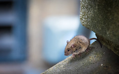 London Street Mouse (DobingDesign) Tags: rodent london londonstreets streetphotography mouse furry animal character cute tiny bokeh depthoffield concrete southbank londonsouthbank riverside city citymouse creature dirty fluffy fur small little tail smallworld