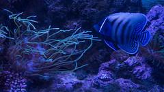 SEA Life Sydney Aquarium (Merrillie) Tags: darlingharbour tropicalfish seaanemone aquarium fish sealife water touristattraction sydney fauna darling animal angelfish