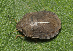 Eurygaster dilaticollis (tristanba) Tags: hemiptera scutelleridae